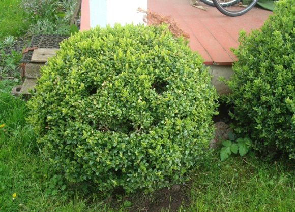 I told Zoe she could trim the Boxwoods out in front of the house and then one day I came home and found this little guy waiting for me.
